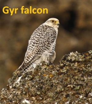 Gyrfalcon 1